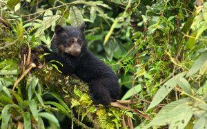 Spectacled-Bear-in-Machu-Picchu